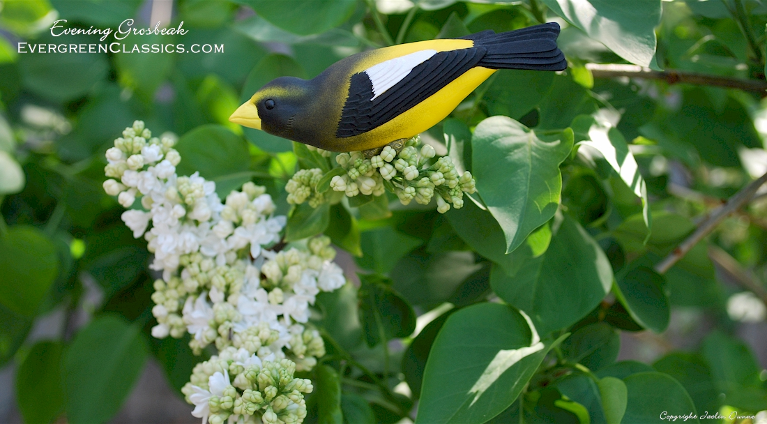 Evening Grosbeak in the white lilacs.