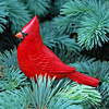 Cardinal perching on a Blue Spruce tree branch..